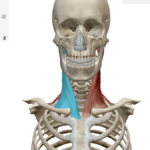 【小顔トレーニング】胸鎖乳突筋を鍛えよう★
